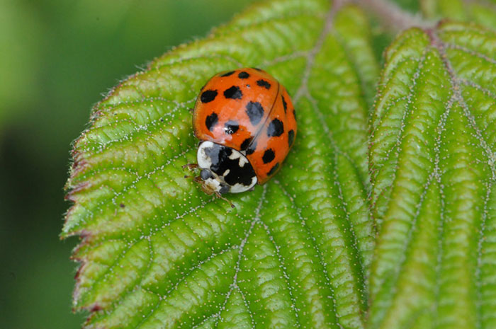 7-spotted-ladybird