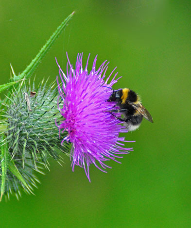 Bumble-bee-n-scotch-thistle