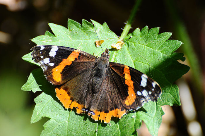 Red-admiral-2